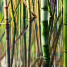 Bamboo Reflections