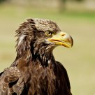 Eagle, looking strong...
