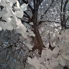 Tree (IR)