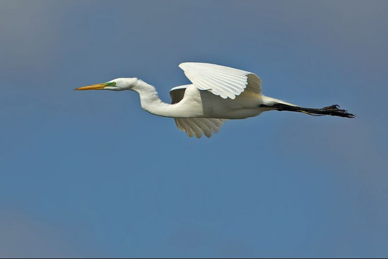 The flight of a Great Egret