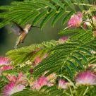 Hummingbird in Mimosa