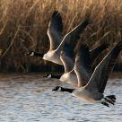 Todd's Canada Goose