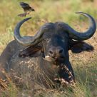Cape Buffalo