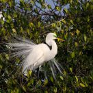 Nesting Great White Egret
