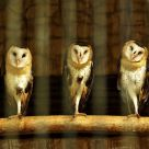 Owls in the Hood