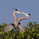 Kissing Herons