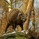 Alpine ibex