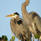 Nesting Pair of Great Blue Herons