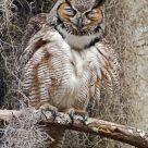 Scrunching Owl