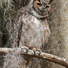 Peering Owl