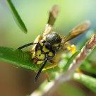 a bee & rosemary