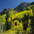 Aspen Trees in October Colors