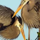 Pair of Great Blue Heron