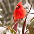 Snow Bird 36