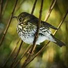 Song Thrush