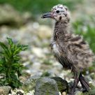 Baby gull exploring