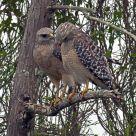 Hawks In Love