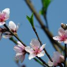 Peach Flower