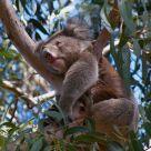 Driming Koala