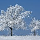 Hoar Frost on Trees #5