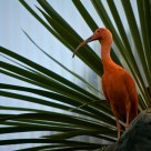 Ibis rojo