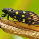 Black Cicadas
