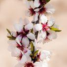 Almond blóma