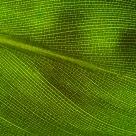 Strelitzia leaf