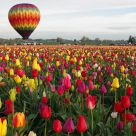 One Balloon, a million Tulips