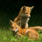 Foxes #3