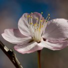 Spring Oriental cherry