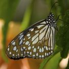 Limenitis Butterfly