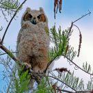 Infant Owl