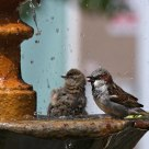 The bath of the sparrows II