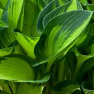 Spring Time In Hosta World