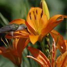 Hummingbird Among the Lilies
