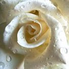Watery Rose