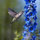 Hummingbird Among the Delphiniums
