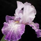 Splashacata Iris