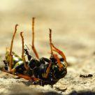 Wasp attaq