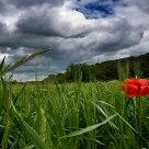 Entre el trigo verde