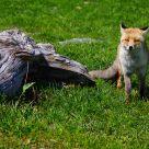 A nice fox