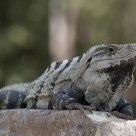 Chichen Itza Lizard