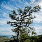 Acadia Pine