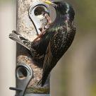 Starling Feeding