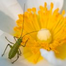Miniature Grasshopper on cistus flower