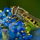 Marmalade Hover Fly