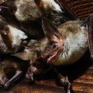 .Myotis myotis #2