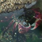 Submerged Crab In Tidepool