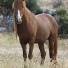 Semi-wilde horse